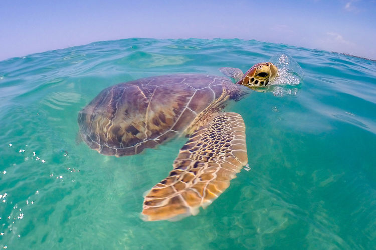 Turtle swimming on sea water