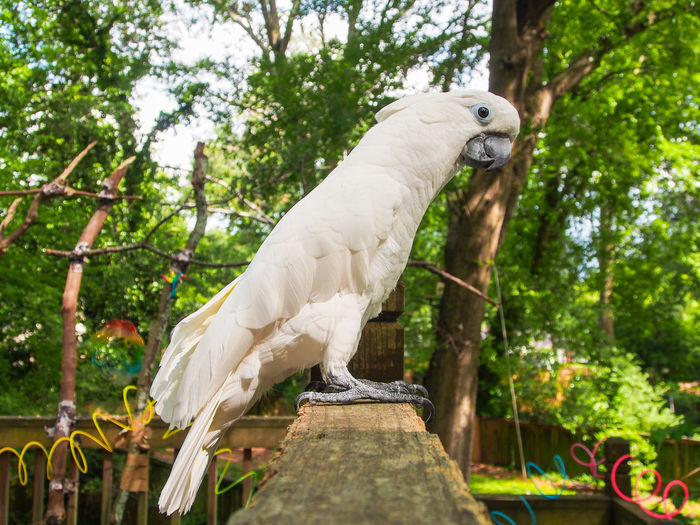 Clara the cockatoo Cockatoo Feathers Animal Themes Bird Cockatoo Day Domestic Animals Exotic Pets Leafy One Animal Outdoors Parrot Perching Pets Portrait Tree White Color