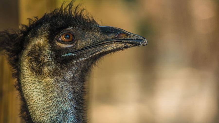 Farm Ostrich