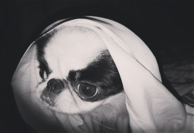 Japanese Chin Mother Teresa DogsSaint Dog
