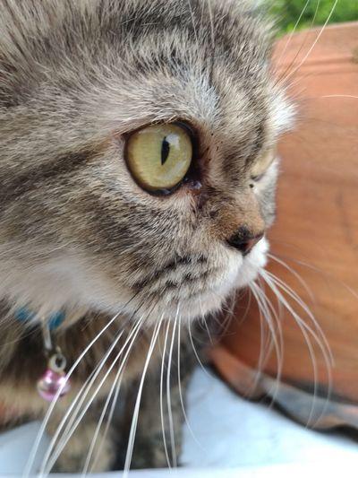 looking Persa Cat Showerphotogtaphy EyeEm Selects Pets Portrait Feline Domestic Cat Looking At Camera Whisker Close-up Yellow Eyes Eye HEAD Eye Color Eyeball Animal Eye Nose