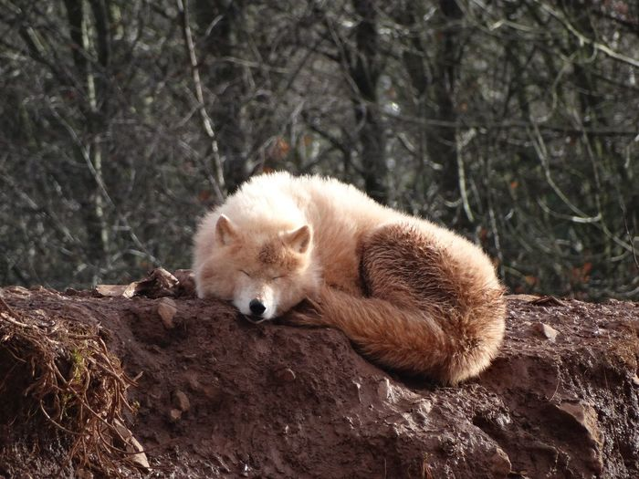 Wolf asleep. WOlves Animals Asleep Canine Dog Sleep Sleeping Wolf One Animal Animal Themes Animal Mammal Animal Wildlife Animals In The Wild Vertebrate Relaxation Outdoors No People Land Resting Nature