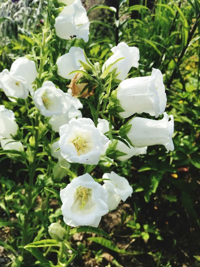 Flower Flowering Plant Moscow Region Campanules Campanula Blubells Plant Flower Flowering Plant Beauty In Nature Growth Fragility Vulnerability  White Color Close-up Petal Freshness Flower Head Nature Inflorescence No People Day Green Color Leaf Plant Part Focus On Foreground