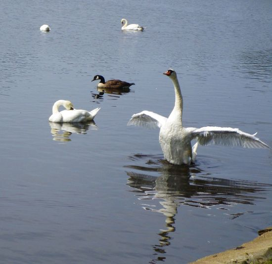 Animal Themes Swan in angel pose White Color In Water Reflection Water Bird Beauty In Nature No People