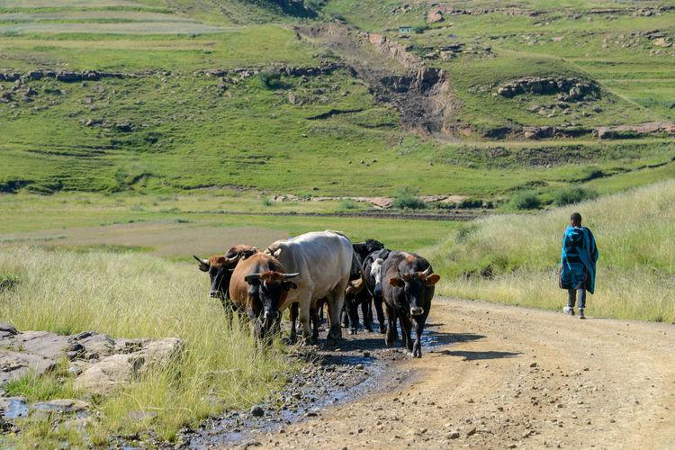 Rear view of cow walking on field