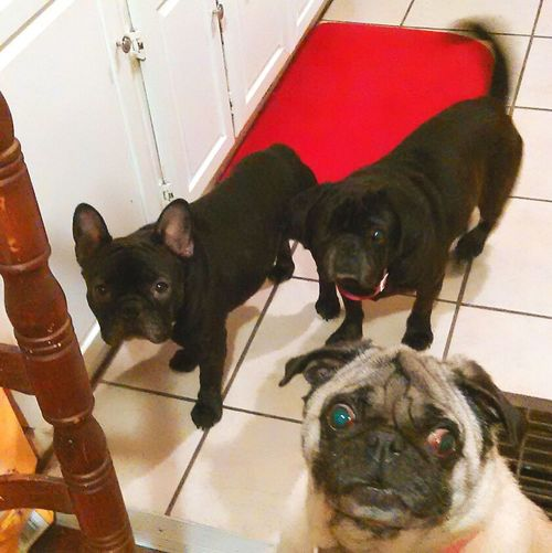 Pets Corner Love Dogs Frenchbulldog Puglove  Frenchie love. Beggingdog