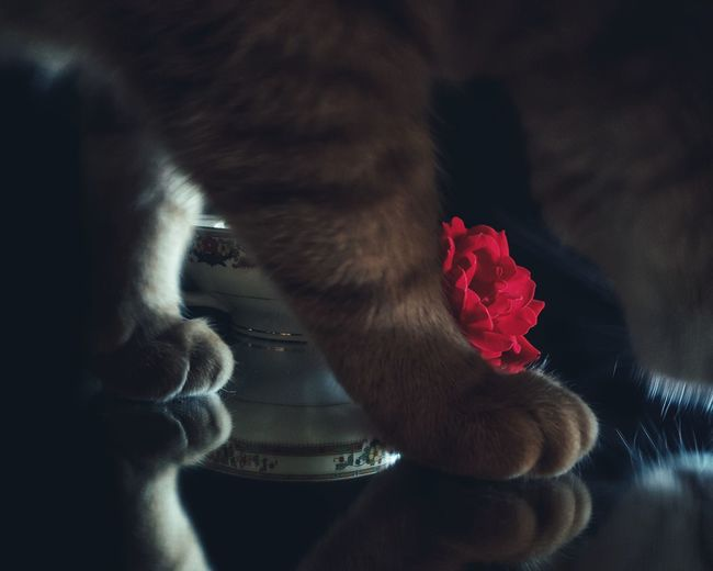 Close-up of a cat with red rose