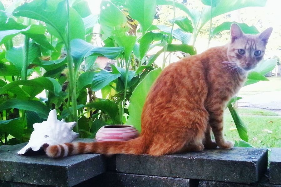 Ocicat Red Cat Pretty Kitty Cat Cat Portrait Domestic Cat Feline Pet Portrait Shell Striped Tail