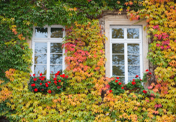 Orange ivy on house with white window Plant Window Flower Flowering Plant Architecture Building Exterior Built Structure Growth Nature Building No People House Freshness Day Beauty In Nature Green Color Residential District Outdoors Red Entrance Window Frame