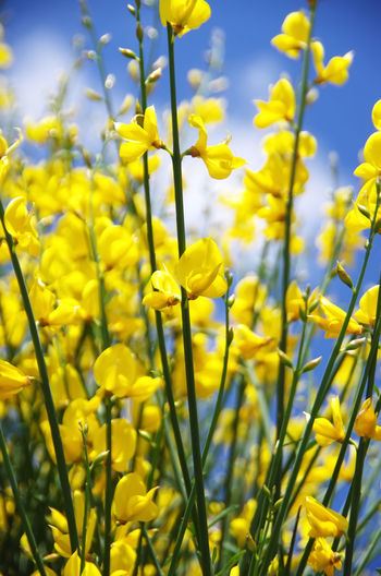 yellow flowers of wlld genista Close-up Flower Flowering Plant Growth Petal Springtime Wlld Genista Yellow Yellow Flowers