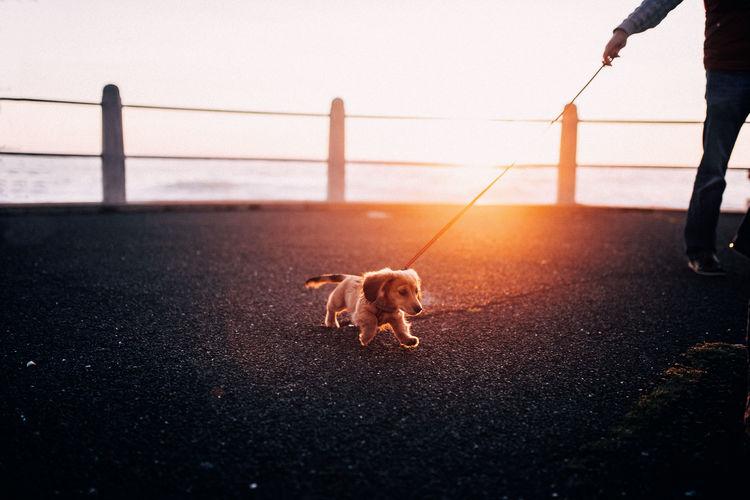Candid Cute Dog Pet Promenade Puppy Sunset Walking Fresh on Market 2017 Pet Portraits