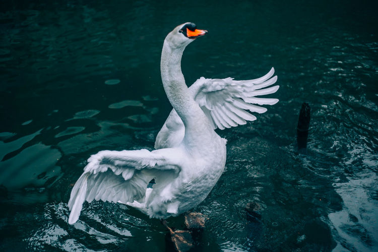 EyeEm Japan ASIA Shootermag AMPt_community Thedarksquare Animal Themes Animals In The Wild Bird Animal Water Vertebrate Animal Wildlife Swimming Lake Flying Group Of Animals Nature No People Spread Wings White Color Waterfront Water Bird Day Flapping