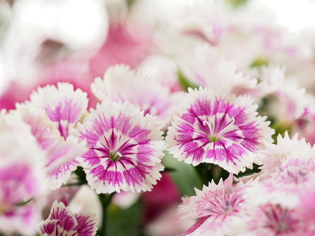 Dianthus in pink and white shade close up Annual Plant Perennial Carnation Flowering Plant Flower Plant Fragility Vulnerability  Freshness Beauty In Nature Growth Pink Color Petal Close-up Inflorescence Flower Head Day Nature Selective Focus Outdoors Botany Focus On Foreground