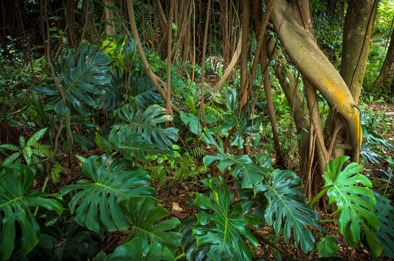 Tropical vines and tree roots with lush broad-leafed plants - Fort Canning Park, Singapore ASIA Exotic Green Hikes Hiking National Nature Parks Singapore Trees Trekking Vines Beauty Broadleaf Fort Canning Jungle Lush Malaysian Park Preserve Reserve Roots Things To Do Tourism Tropical Plants