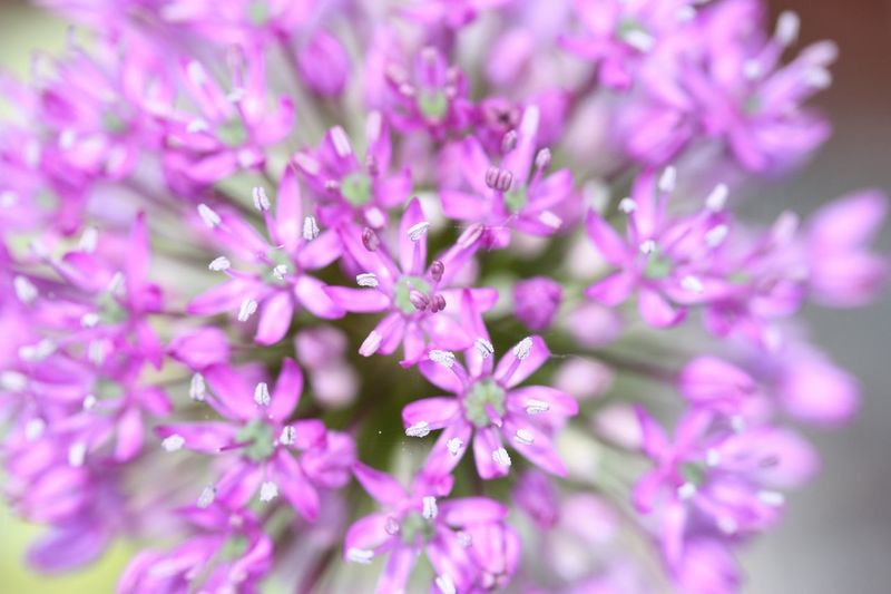 Alium Flower Flowering Plant Plant Beauty In Nature Freshness Fragility Petal Close-up Vulnerability  Flower Head Purple Growth Nature No People Springtime Selective Focus Blossom Outdoors