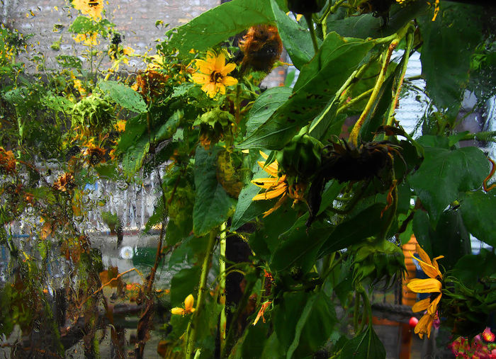 Beauty In Nature Growth Green Color Flowering Nature_collection Sunflowers🌻 Rainy Days Through The Looking Glass Through The Window