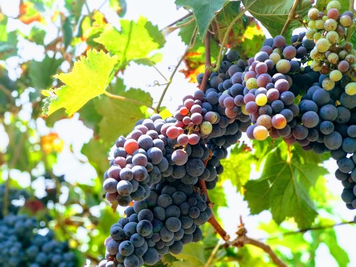Fruit Grape Vineyard Bunch Food And Drink Winemaking Leaf
