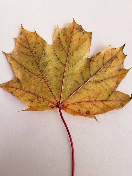 Changing of the leaves. I fell extra in love with fall this year. Yellow Yellow Leaves Autumn Maple Leaf No People Close-up Change Leaf White Background Veins In Leaves Lines Minnesota Fall Fall Colors