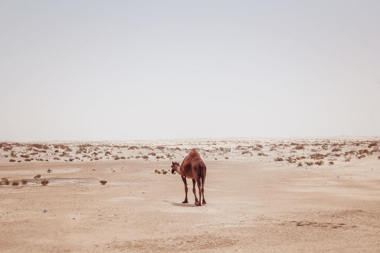 Desert Animal Themes Arid Climate Beauty In Nature Clear Sky Day Desert Dromedary Landscape Nature No People One Animal Outdoors Sand Sky