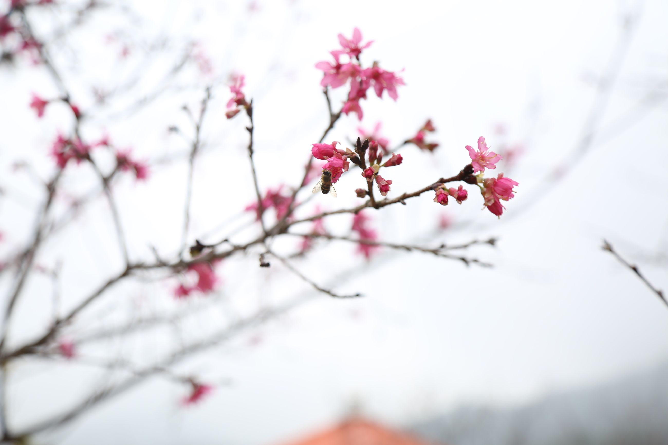 nature, growth, flower, tree, beauty in nature, freshness, branch, fragility, springtime, close-up, outdoors, blossom, low angle view, day, no people, twig, plum blossom, sky