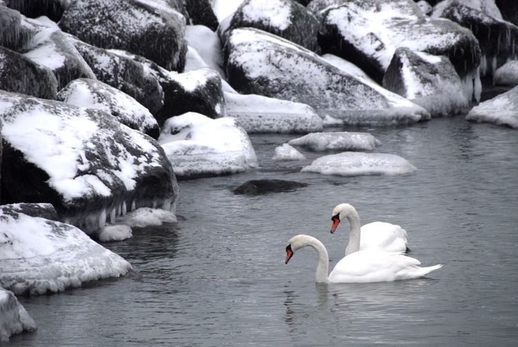 Animal Themes Animals In The Wild Beauty In Nature Bird Cold Temperature Day Floating On Water Lake Nature No People Outdoors Swan Swimming Water Waterfront