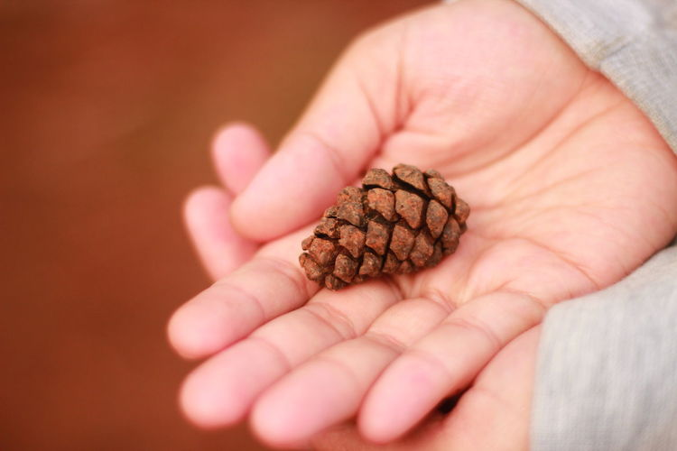 Close-up of person holding pine cone