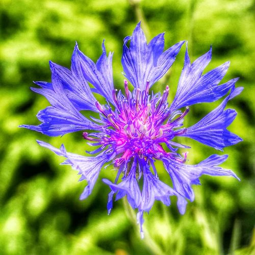 Cornflower HDR Hdr_Collection Art Beauty In Nature Close-up Day Flower Flowering Plant Focus On Foreground Fragility Freshness Groth Inflorescence Nature No People Outdoors Petal Plant Vulnerability  Blue Color Purple Color
