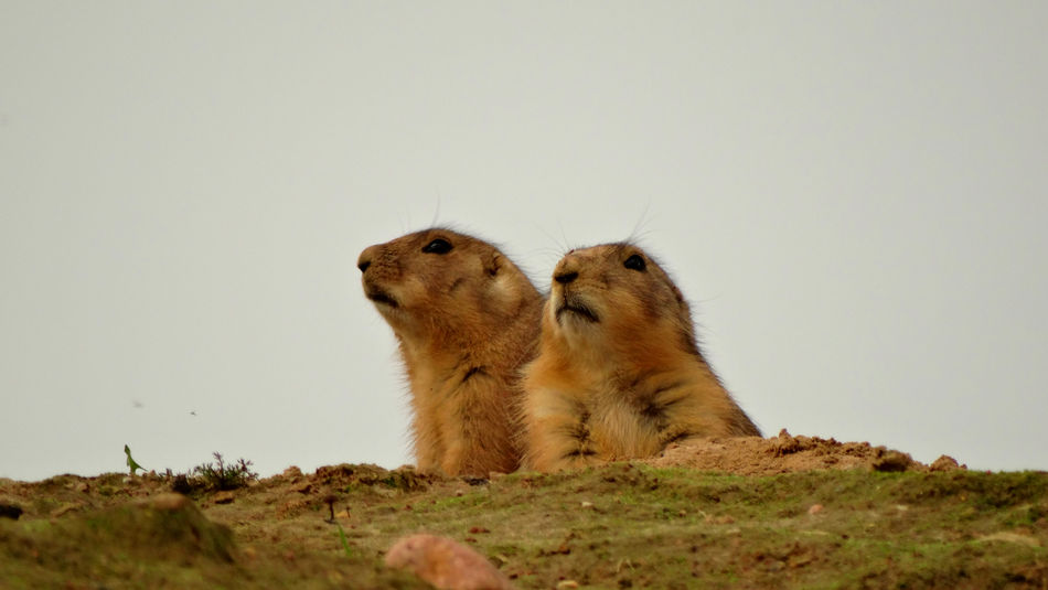 ZOO-PHOTO Zoo ZooLife Animal Themes Clear Sky Day Mammal Nature No People Outdoors Prairie Dogs Prairiedog Sitting Togetherness Two Animals Zoo Animals  Zoophotography EyeEm Animal Lover Eyeemphoto Weekendtrip Netherlands Weekend Weekend Activities The Week On EyeEm The Netherlands