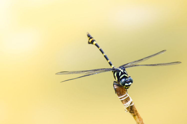 Close-up of dragonfly against gray background