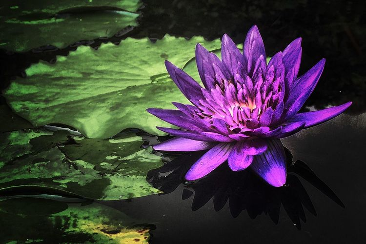 Lotus Water Lily Flower