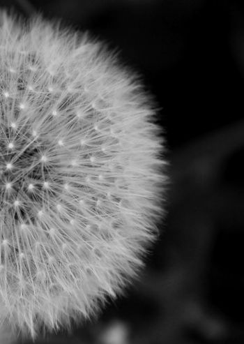 Nature Blackandwhite Bw_collection Dandelion Friday ;)