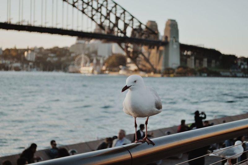 Seagull Perching Against Sydney Harbor Bridge