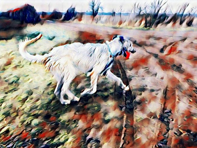 Animal Themes Domestic Animals Outdoors Fieldscape Grass Cearnaigh Winter 2017 Dogs Of EyeEm Dogslife Irish Wolfhound Dogs Of Winter Dogwalk How's The Weather Today? February 2017 Vinci App Pets Running Red Beauty In Nature Dog Nature Bokeh Portrait One Animal
