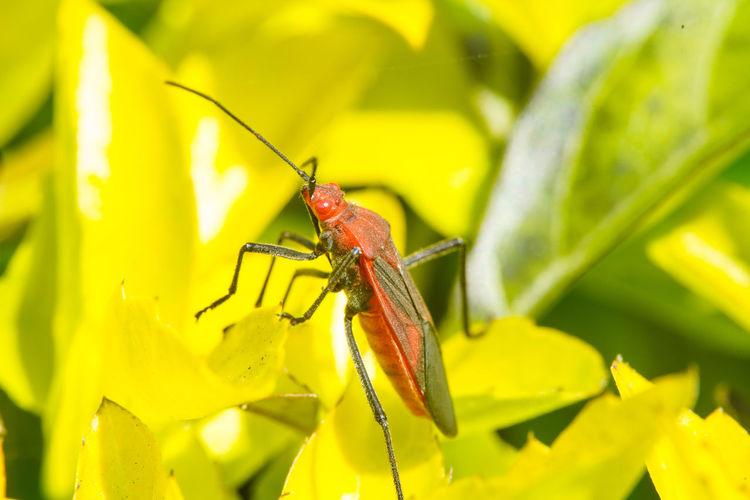 紅姬緣椿象 Yellow