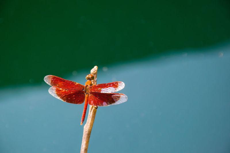 แมงปอล้อคลื่น Dragonfly Poultry Close-up Marco Animal