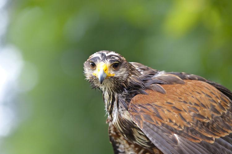 Close-Up Of Eagle Looking At Camera