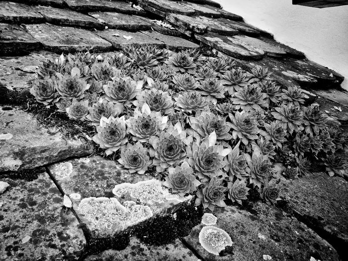 Stonecrops Black & White Rooftop Village Life Villány, Hungary