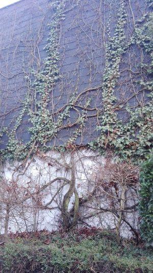 La naturaleza siempre recupera lo suyo! Aunque el humano lo destruya Growth No People Tree Nature Beauty In Nature Close-up Outdoors Day Branch Water Ivy Fragility