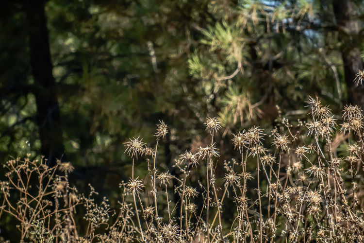 Beauty In Nature Close-up Day Dried Field Flower Flower Head Flowering Plant Focus On Foreground Forest Fragility Freshness Growth Land Nature No People Outdoors Plant Selective Focus Sunlight Tranquility Vulnerability  Wilted Plant