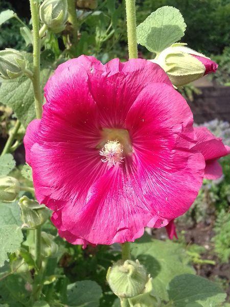 Malve Stockrose Bauerngarten Gartenglück Blume Blüte Flower Garden Garden Flowers Flower Fragility Petal Beauty In Nature Flower Head Nature Plant