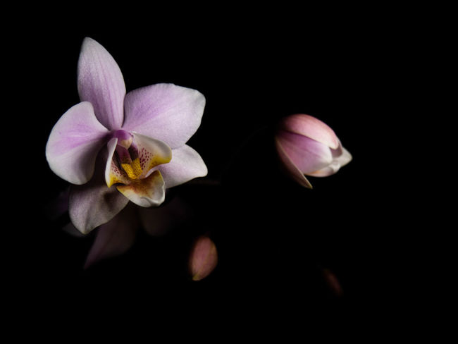 Flower Flowering Plant Fragility Freshness Petal Beauty In Nature Vulnerability  Plant Inflorescence Flower Head Studio Shot Black Background Close-up Nature Growth No People Pollen Indoors  Copy Space Isolated