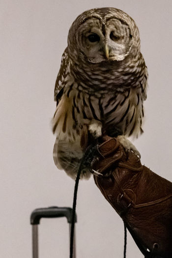Bird One Animal Animal Wildlife Vertebrate Animals In The Wild Perching Indoors  One Person Bird Of Prey Close-up Portrait Human Body Part Human Hand Looking At Camera Hand Protective Glove Owl Bard Owl