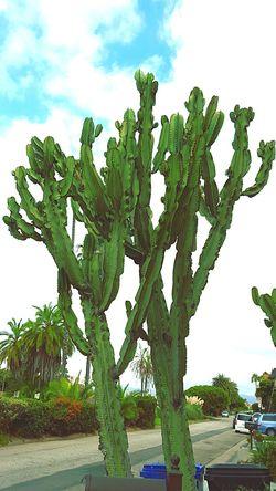 Cactusclub EyeEm Cactus I Love Cactus Cactusporn Cactus Cacti Playa Del Rey Local