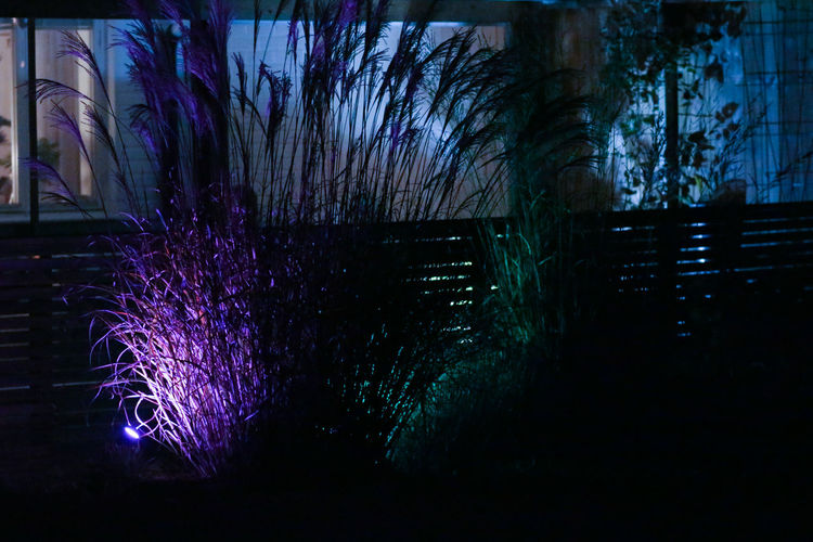 Illuminated Night Nature No People Plant Architecture Tree Purple Built Structure Outdoors Building Exterior Dusk Light Beauty In Nature Building Motion PhilipsHue In My Garden... Japanese Grass Halloween Halloweenparty Purple Light Autumn Mood