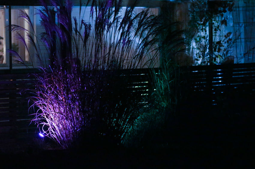Illuminated Night Nature No People Plant Architecture Tree Purple Built Structure Outdoors Building Exterior Dusk Light Beauty In Nature Building Motion PhilipsHue In My Garden... Japanese Grass Halloween Halloweenparty Purple Light