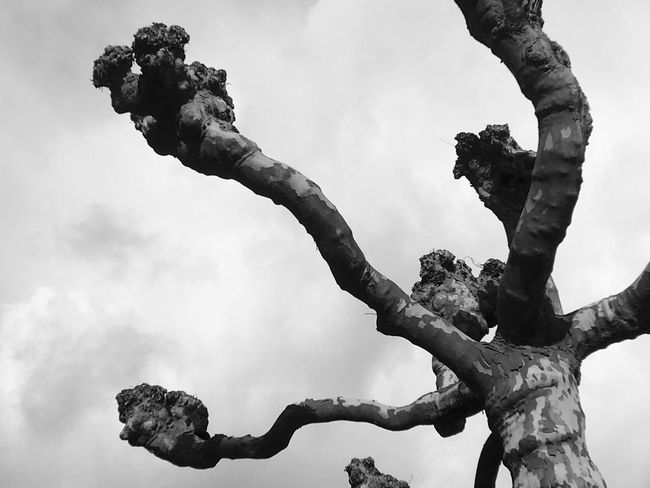 Cut Tree Branches Branches And Sky Sky Blackandwhite IPhoneography Iphone6s Nature Grey Sky Bark Cut Pruned Trees Pruned Knotted Black And White Nature's Diversities