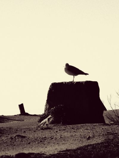 One Bird One Animal Perching Vintage Rock or Trunk Bird Scene Dry Bird Theme Ocean Theme In Quiberon