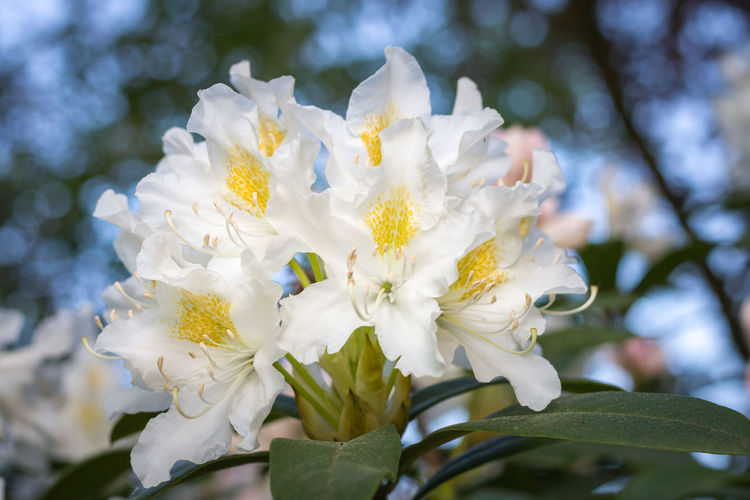 Close-up of white rhododendron flower in full bloom in a garden Flowering Plant Flower Plant Fragility Vulnerability  Growth Beauty In Nature Freshness Petal White Color Close-up Inflorescence Flower Head Nature Day Tree Focus On Foreground Blossom No People Springtime Pollen Outdoors Rhododendron Garden Full Bloom