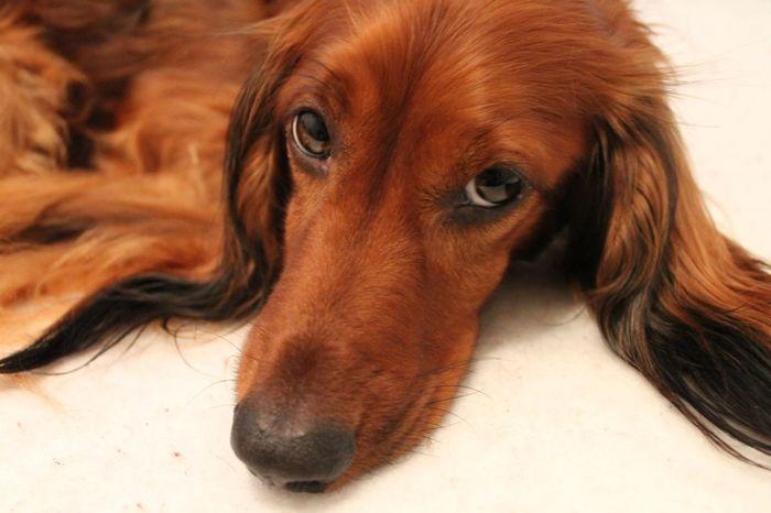 Dackel Hund Close-up Dachshund Dackelblick Dog Doggy Pets Puppy Sweet