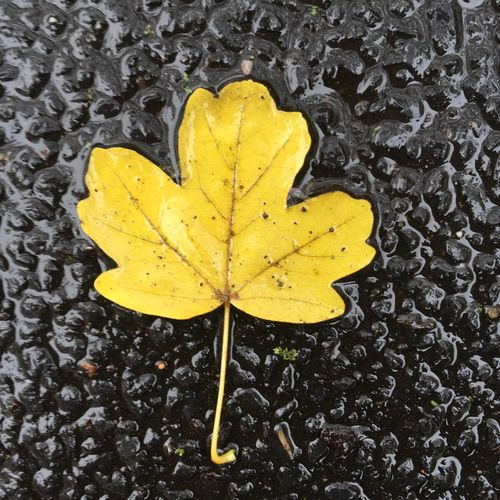 Yellow Leaf Wet Nature Autumn Close-up High Angle View No People Outdoors Day Fragility Maple Water Maple Leaf Beauty In Nature Puddle Leaf In Puddle Autumn Leaves